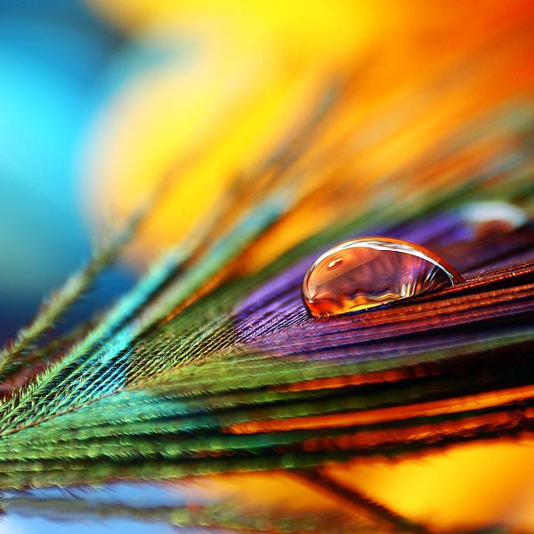 """""""Color show"""" by Joakim Kræmer, via 500px.Macrophotography, Waterdrop, Macro Photography, Vibrant Colors, Dew Drop, Photography Tips, Water Droplets, Peacocks Feathers, Rain Drop"""