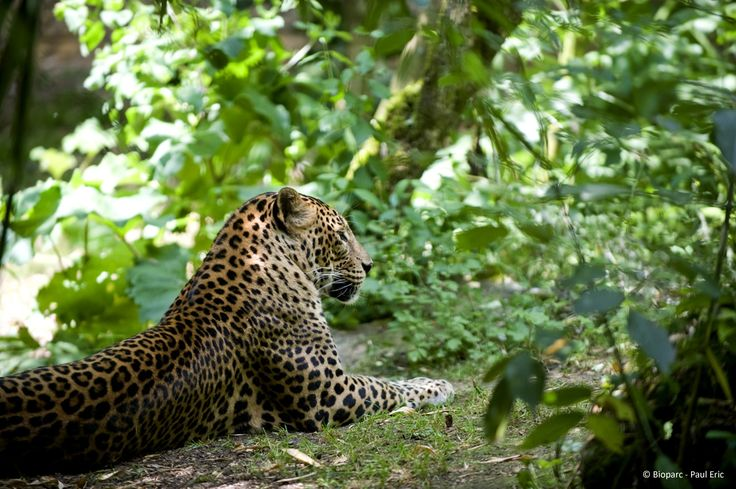 Le léopard de Sri Lanka est classé en danger dans la Liste Rouge des Espèces Menacées.