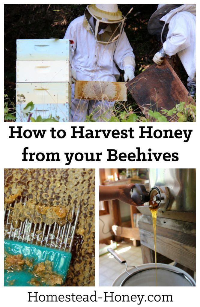 The most satisfying part of raising bees is harvesting the honey. Here's a step by step on how to harvest honey from a Langstroth beehive.