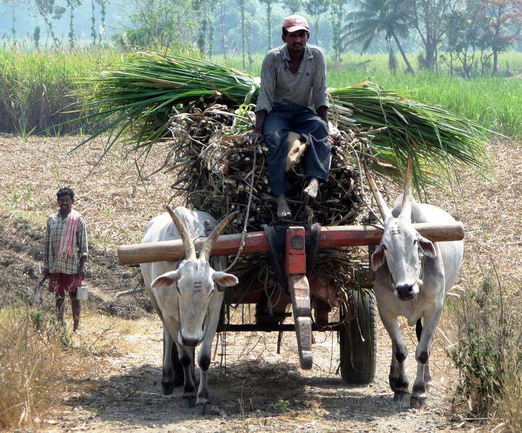 https://flic.kr/p/64B5wp | Rural Karnataka | Sugar Cane Crop