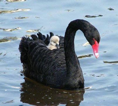 Schwarzer Schwan mit Baby
