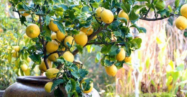 Fatto in casa: Come coltivare e curare una pianta di limoni in vaso