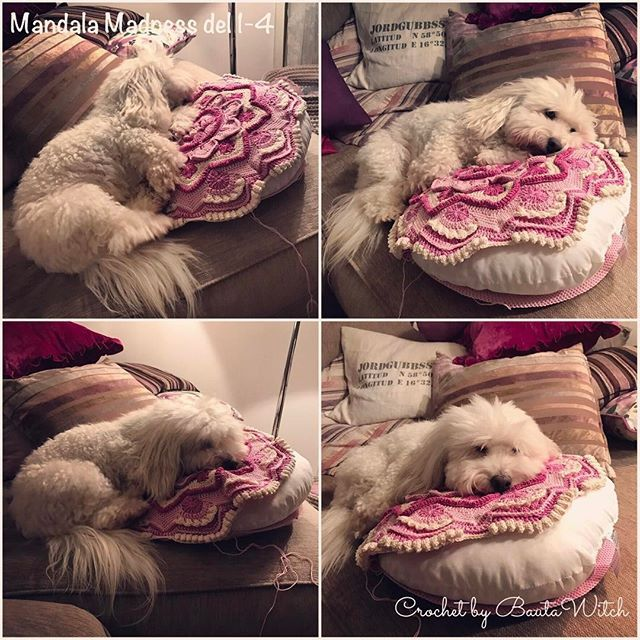 """Thought crochet my Mandala Madness pillow tonight but it is """"busy"""" of woofie ... 🐶💕 #virka #virkning #virkat #rosa #mandala #mandalamadness #crochet #cotondetulear #coton #cottondetulear #dog #pink #bautawitch #cotondetulearlove # cotondetulearsofinstagram #cotonsofinstagram"""