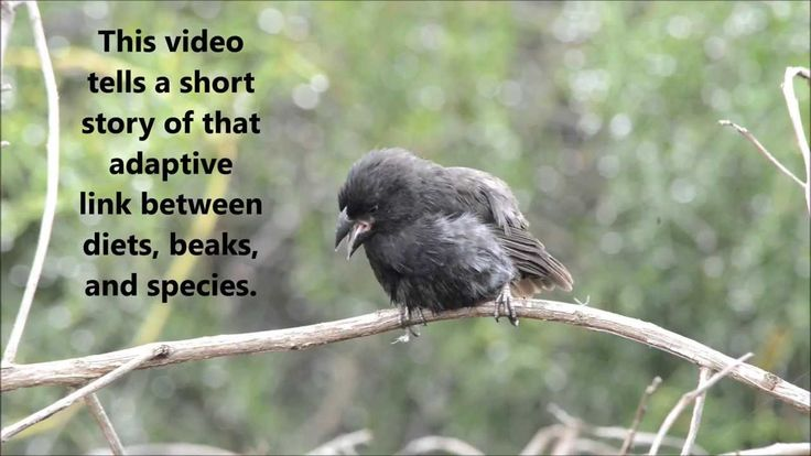 The adaptive radiation of Darwin's Finches