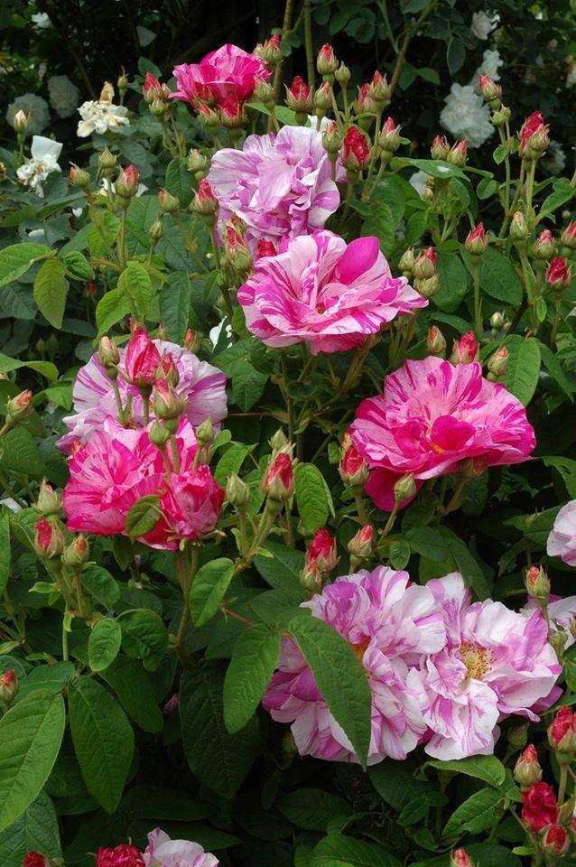 'Rosa Mundi' or 'Rosa gallica versicolour'