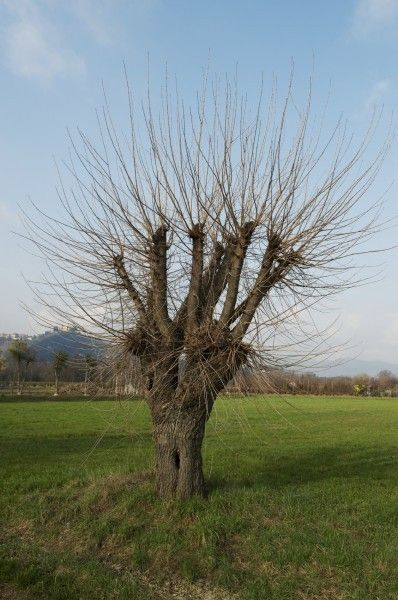 Guide To Mulberry Tree Pruning: Information On Pruning Mulberry Trees