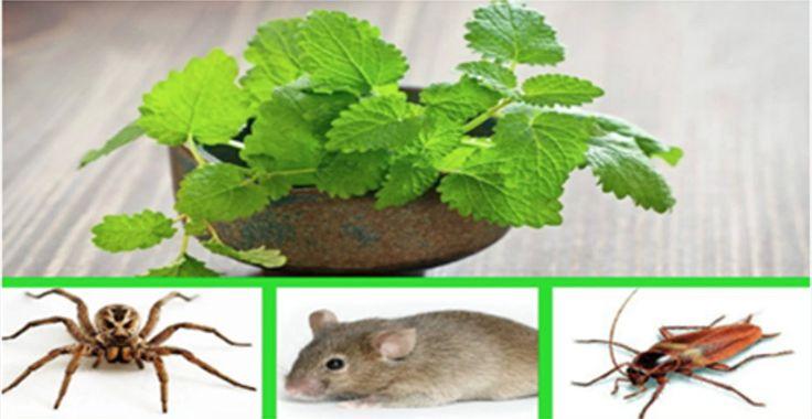 Você tem na sua casa problema com insetos, por exemplo, formigas e aranhas?Está tentando afastá-los, mas eles sempre voltam?Estamos trazendo uma dica simples.Ela é natural e totalmente ecológica.Você não vai matar os insetos.