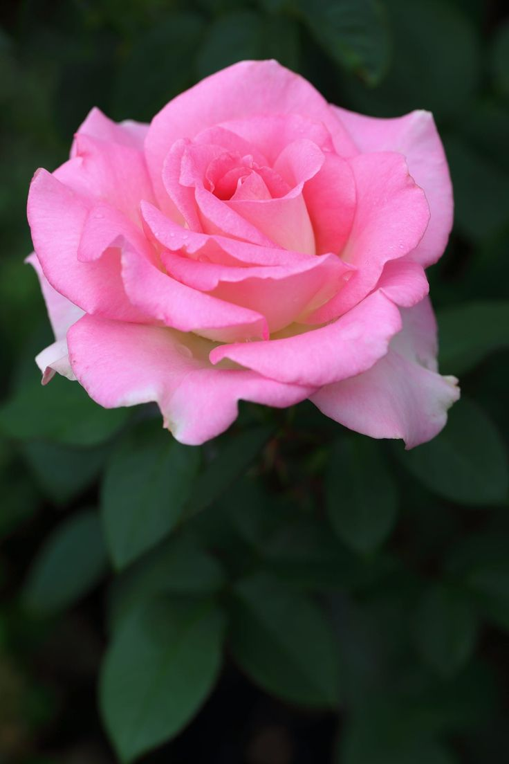Roses In Garden: 17 Best Images About The Scent Of Roses On Pinterest