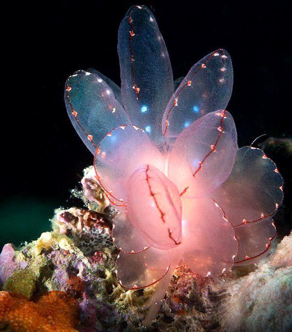 Cyerce elegans (Sea slug) - Maricaban, Calabarzon, Philippines | by Luko GR