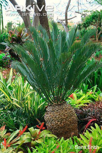 le « Zamia Lehmanni », un immense ananas, un prodigieux pain de Chester, planté dans de la terre de bruyère et hérissé, à son sommet, de javelots barbelés et de flèches sauvage