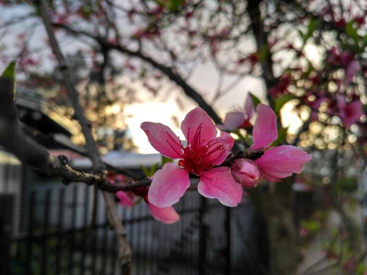 Flores de árbol frutal, Durazno 🌼🌼🌼🌼