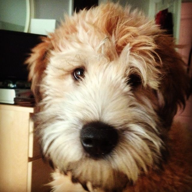 Soft Coated Wheaten Terrier - look at that teddy bear face!