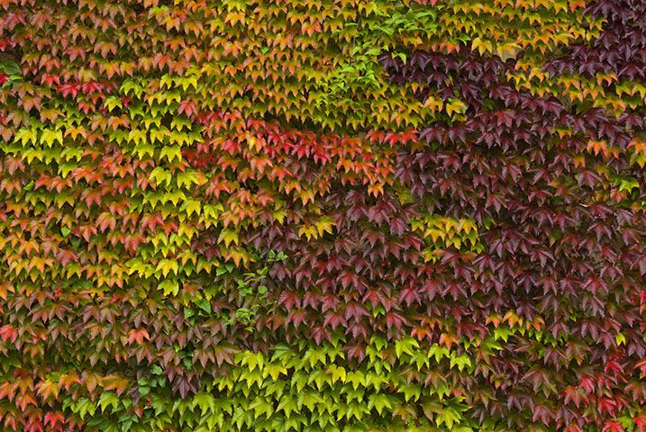 Credit: Alamy Parthenocissus tricuspidata Boston ivy (above) clings by pads on the tips of its tendrils. The variety 'Lowii' is a cut above the usual form of Boston ivy, with slightly crisped, green leaves in spring and summer, turning rich crimson and orange in autumn. Height 4m-plus. Grow it Best on trunks of tall trees, or tall walls, in any reasonable soil. Perryhill Nurseries