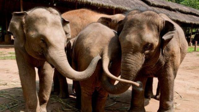 Thinking like an elephant in Thailand   Volunteer with Thai elephants   Combadi