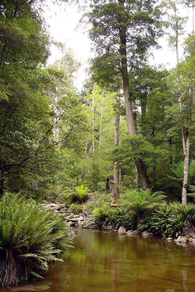 Rainforest Tasmania | by TarsierMan