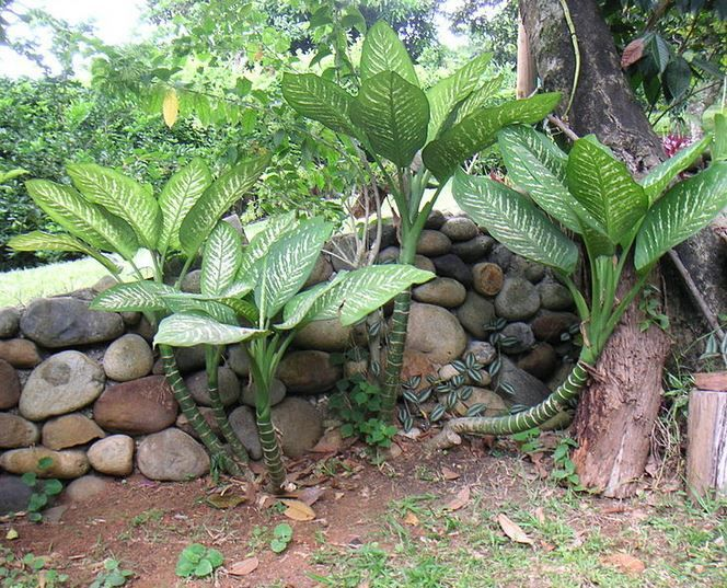 La mejor guía de plantas tóxicas para nuestras queridas mascotas. Además te adjunto un enlace de descarga libre para que te la bajes en pdf. http://www.enriquecimientoambiental.com/guia-de-plantas-toxicas-para-perros-y-gatos/ Difenbaquia (Dieffenbachia)