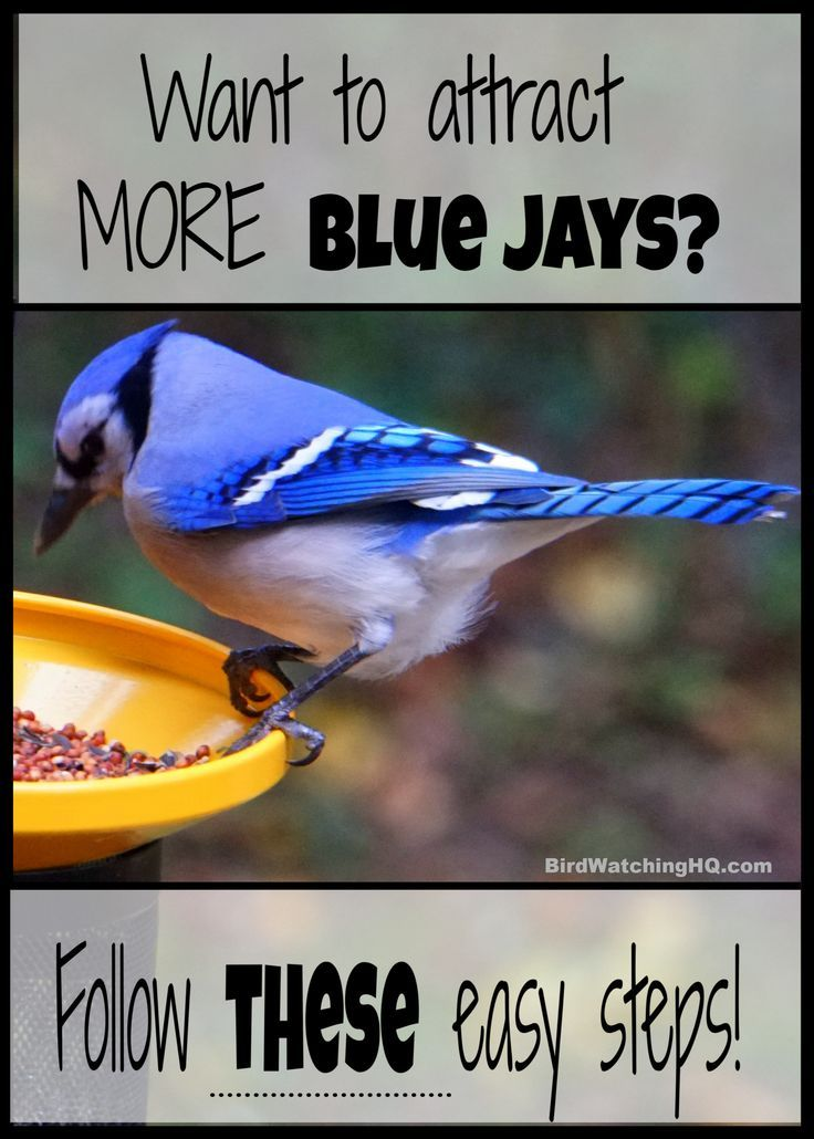 Attract Blue Jays With These 4 Simple Strategies 2020 Blue Jay