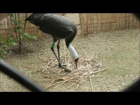 ナベヅルが抱卵中
