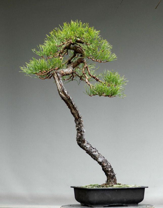 111 best images about bonsai literati on pinterest trees for Literati bonsai gallery
