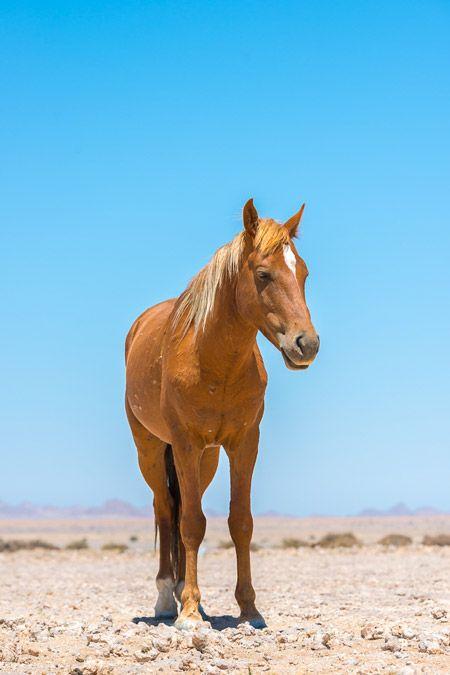 namibia's wild horse