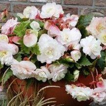 Begonia a cascata odorata ® bianco/rosa_Meilland giardino all'ombra