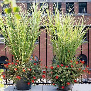 Northern sea oats from Midwest Living: Gardens Ideas, Ornamental Grasses, Plants, Zebras Grass, Planters, Northern Sea, Ornaments Grass, Flower, Front Porches