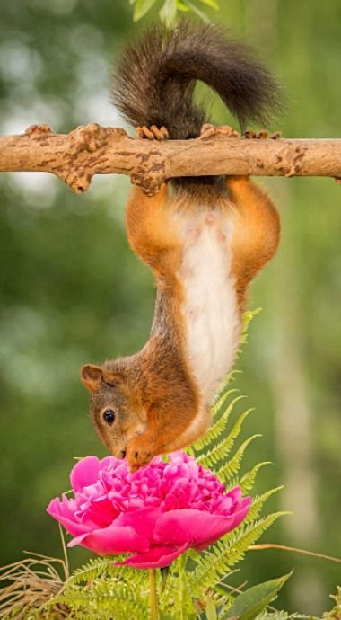 AMERICAN RED SQUIRREL.....aka boomers, chickarees, pine squirrels, and fairydiddles....a rodent found in pine forests in the colder northern United States....measures 12 inches long from nose to tail....the most common species of tree squirrel....about half the size of gray squirrels