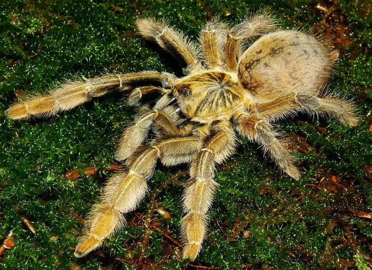 Golden Baboon Tarantula - Augacephalus junodi - This member of the family Theraphosidae is endemic to the continent of Africa. Like many other tarantulas, this species inflicts a painful bite, but its venom is not considered dangerous to humans - Image : © craig mcinnes / July 22, 2009