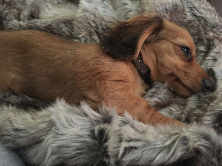Our Longhaired Daschund