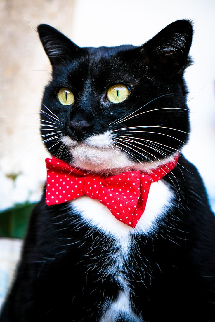 151 best catitude images on pinterest kitty bow ties and brother