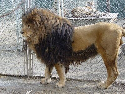 extinct animals last 100 years | Barbary Lion (Extinct) - via: http://animalworldevolution.blogspot.in ...