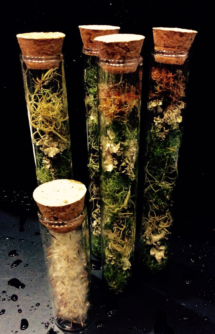 Dandelion seeds, lichen specimens in test tubes. By Euphorbia Botanical