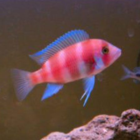 Red Frontosa Cichlid 6/7cm £26.50 - aggressive fish