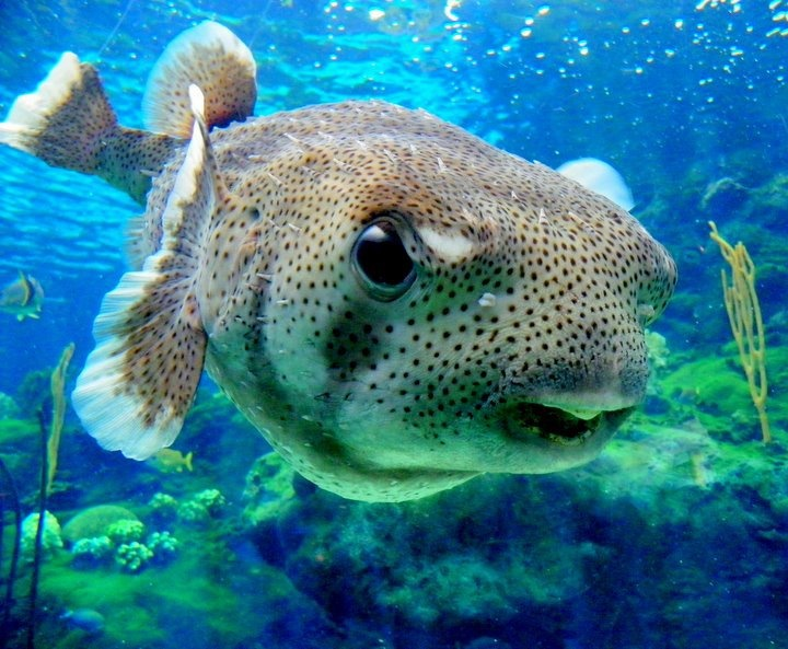 12 best puffer fish images on pinterest animals baby for Puffer fish for sale