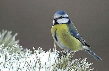 BirdLife Suomi - Pihabongaus