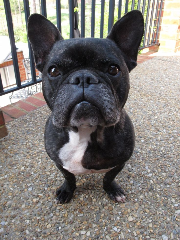 The history of the French Bulldog breed.  Best breeder and showing tips as well as risks of the breed and upbringing.