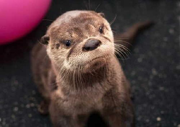 This otter *is* disappointed in you.: Tracy Jordans, Baby Otters, Tracy Morgan, Oregon Zoos, Baby Animal, Funny Animal, Sea Otters, Rivers Otters, Baby Seal