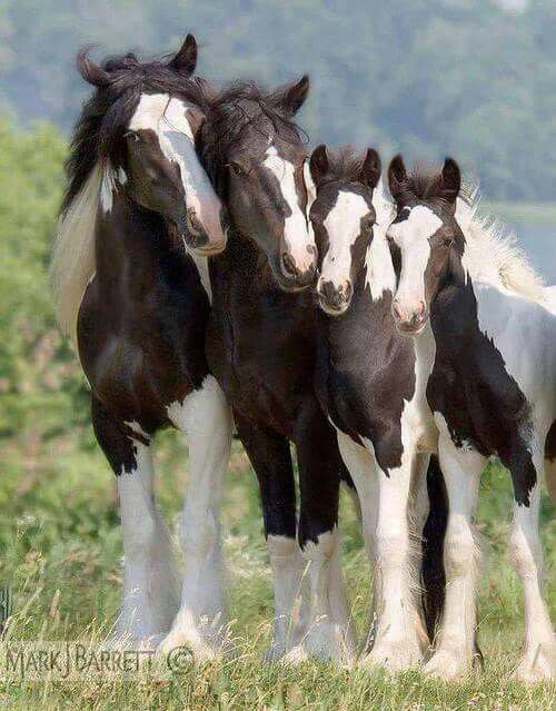 Adorable horse family, all decked out in black and white.