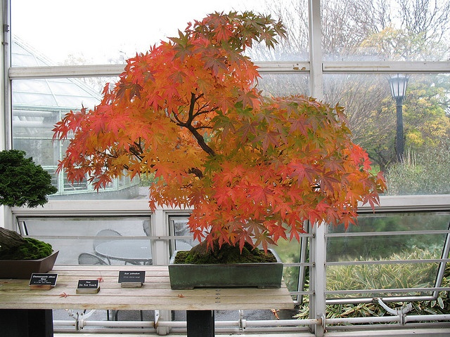 Japanese Maple Bonsai by Brooklyn Botanic Garden: Brooklyn Botanical, Bonsai Trees, Autumn Brooklyn, Autumn Leaves, Japan Maple, Red Bonsai, Maple Bonsai, Bonsai Beautiful, Botanical Gardens