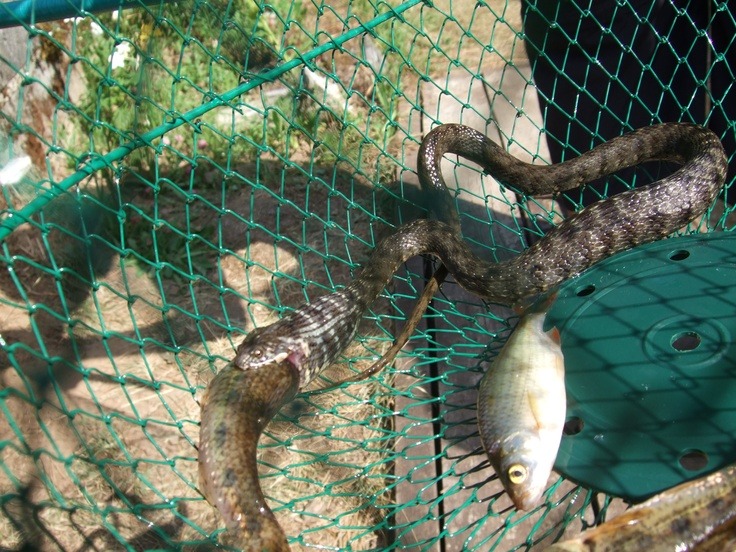 12 best images about snake strike on pinterest ribbons for Snake eating fish