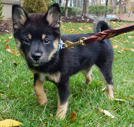 Nugget the Shiba Inu Mix -- Puppy Breed: Pomeranian / Shiba Inu