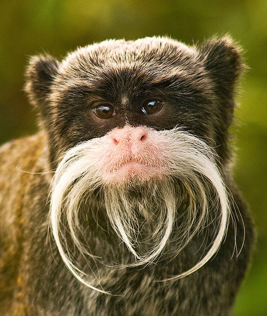 Emperor tamarin monkey - (CC)Anguskirk - www.flickr.com/photos/anguskirk/2852240479/in/set-72157606693334125#