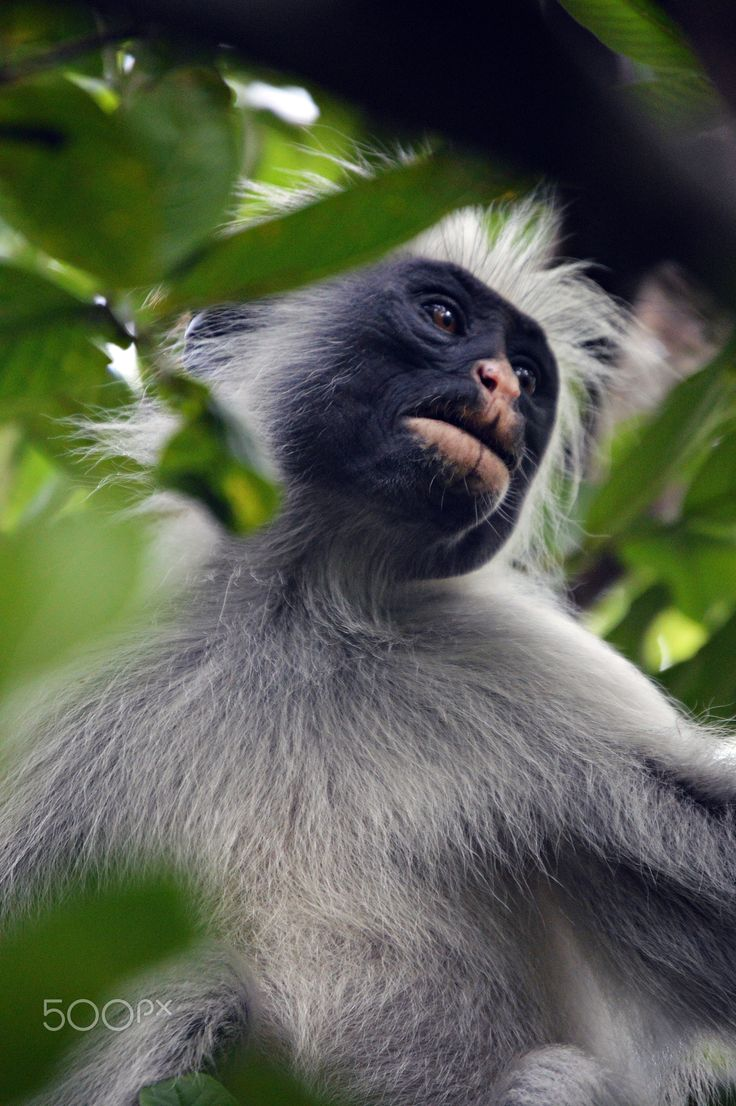 """Black-and-white colobus - Black-and-white colobuses (or colobi) are Old World monkeys of the genus Colobus, native to Africa. They are closely related to the brown colobus monkeys of genus Piliocolobus.The word """"colobus"""" comes from Greek κολοβός kolobós (""""docked""""), and is so named because in this genus, the thumb is a stump. Colobuses are herbivorous, eating leaves, fruit, flowers, and twigs. Their habitats include primary and secondary forests, riverine forests, and wooded grasslands; they…"""