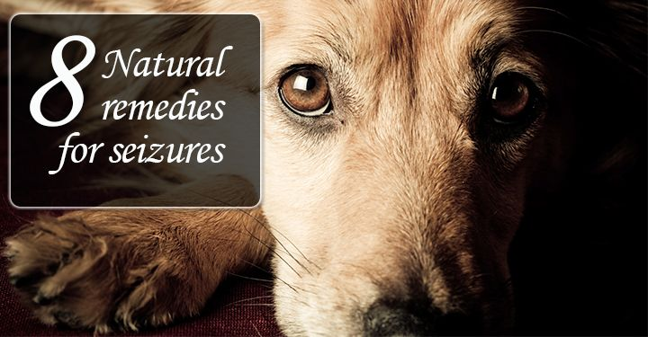 If your dog gets seizures, and you are looking for a natural way to treat them- Here are 8 natural remedies for your dog's seizure...