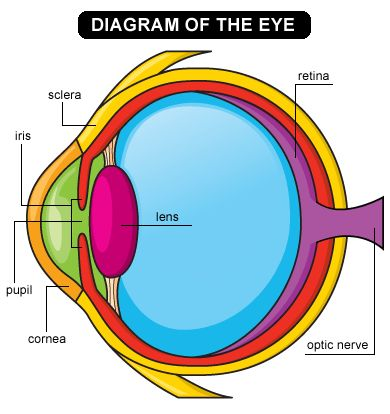 eye diagram web and more information and activity ideas for learning about the eye