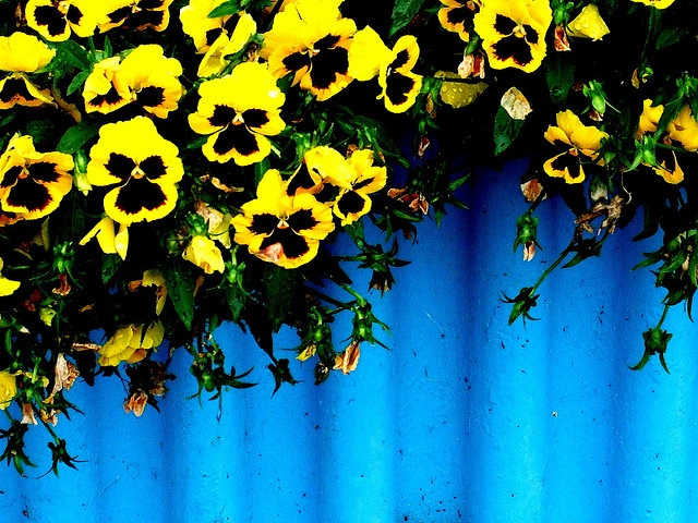 pansies: Theta 3, Pansiesbeauti Flowers, Kappa Alpha Theta, Front Yard, Pansies Beautiful Flowers, Theta Pride, Kappaalphatheta, Black And Yellow Pansies, Bright Colors
