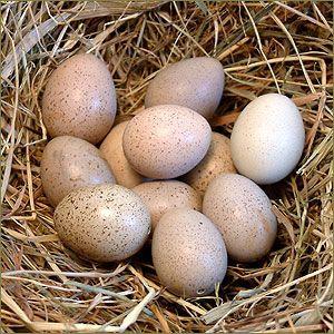Zwergwachtel-Ei: Größe: Die Eier sind sind etwas kleiner als Wachteleier. Bescheibung: Es gibt sie in unterschiedlichen Brauntönen und zum Teil sind sie leicht gefleckt. Stück-Preis: 2,00 €