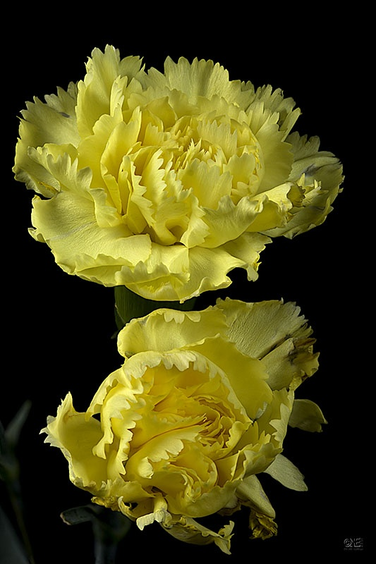 Yellow Carnation for my precious Momma.