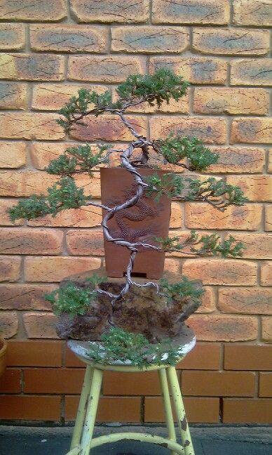 Cascade juniper