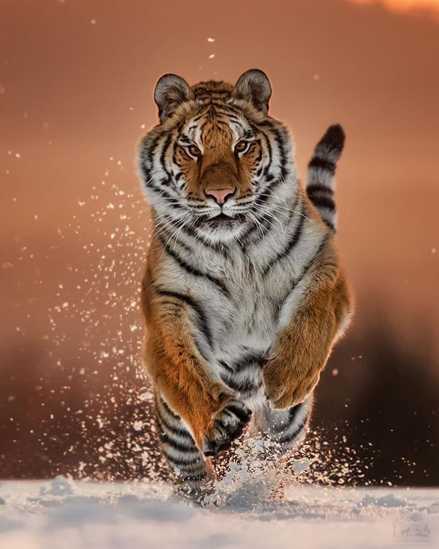 Top Action Shot And Great Light Pet Tiger National Geographic Animals Animals Amazing